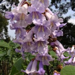 FTH17 Paulownia fortunei x tomentosa 'Henan Hybrid'